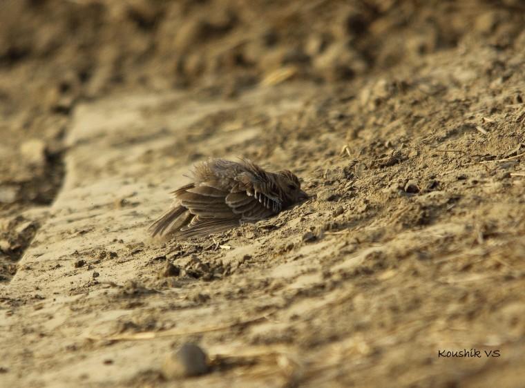 ashy crowned sparrow lark female 3.JPG