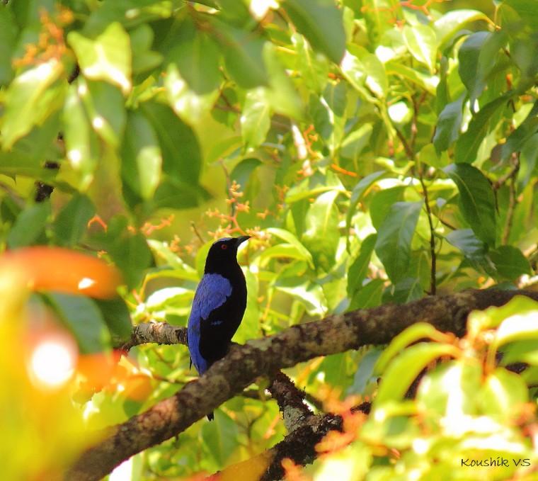 asian fairy bluebird.JPG