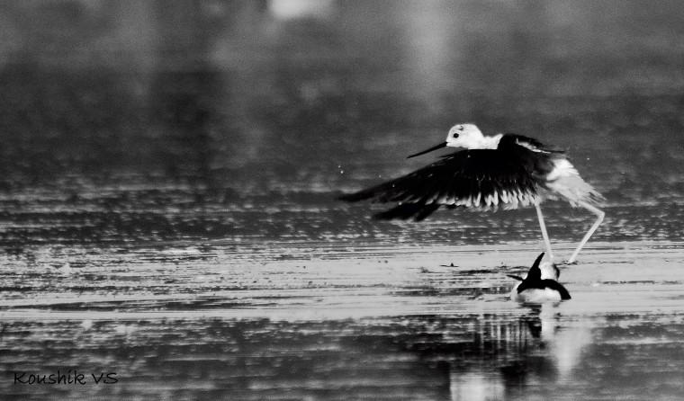 Black winged stilt (6).JPG