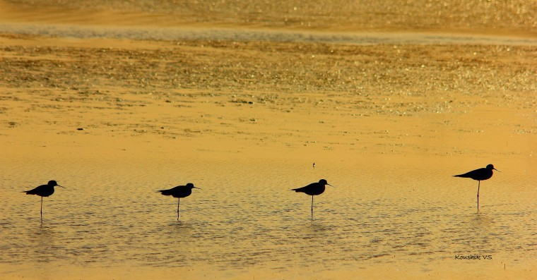 black winged stilts.JPG