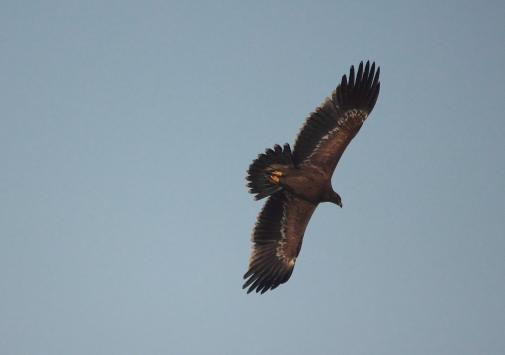 Step eagle