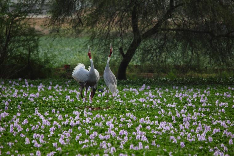 Sarus Crane (3)