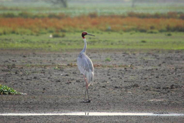 Sarus crane 3.JPG
